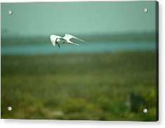 Acrylic Print featuring the photograph Tern In Flight by Bonnie Muir