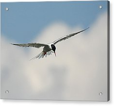 Tern In Flight Acrylic Print