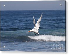 Tern In The Surf Acrylic Print by Ruth Jolly