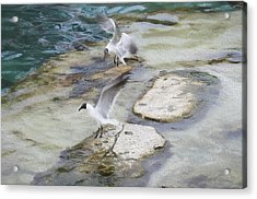 Tern On The Shore Acrylic Print
