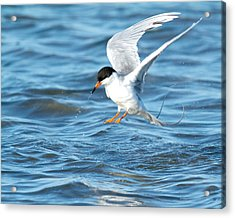 Forster's Tern Taking Flight Acrylic Print