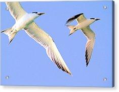 Terns In Flight Acrylic Print