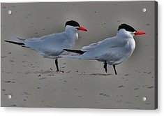 Terns In The Wind Acrylic Print by Helen Carson