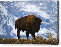 Teton Bison Acrylic Print by Mark Kiver