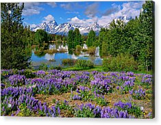 Teton Spring Lupines Acrylic Print by Greg Norrell