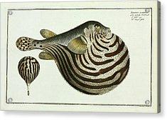 Tetrodon Lineatus (arothron Stellatus) Acrylic Print by Natural History Museum, London