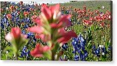 Texas Beauties Acrylic Print by David  Norman