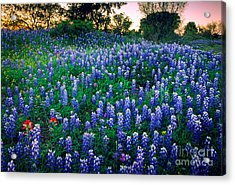 Texas Bluebonnet Field Acrylic Print by Inge Johnsson