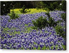 Texas Bluebonnets 1 Acrylic Print by Richard Mason