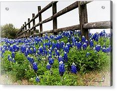 Texas Bluebonnets Acrylic Print by Allen Biedrzycki