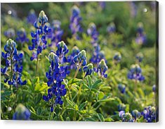 Texas Bluebonnets In Early Sun Acrylic Print by Lisa  Spencer