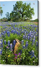 Texas Bluebonnets (lupinus Texensis Acrylic Print by Larry Ditto