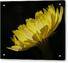Acrylic Print featuring the photograph Texas Dandelion by Susan D Moody