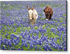 Acrylic Print featuring the photograph Texas Donkeys And Bluebonnets - Texas Wildflowers Landscape by Jon Holiday