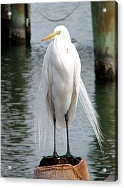 Texas Great White Egret Acrylic Print by Linda Cox