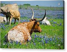 Texas Longhorn Acrylic Print by Allen Biedrzycki