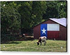 Texas Longhorn Grazing Acrylic Print