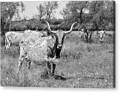 Texas Longhorns A Texas Icon Acrylic Print