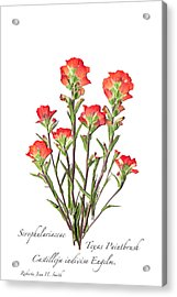 Texas Paintbrush 2 Acrylic Print