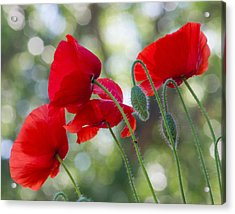 Texas Poppies Acrylic Print by April Nowling