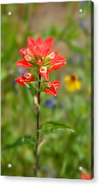 Texas Red Indian Paintbrush Acrylic Print by Lynn Bauer