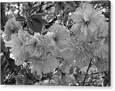 Acrylic Print featuring the photograph Textured Black And White Cherry Blossoms by Gena Weiser