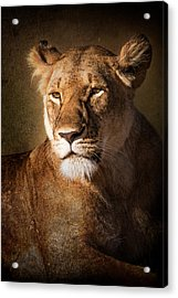 Acrylic Print featuring the photograph Textured Lioness Portrait by Mike Gaudaur