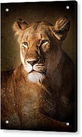 Textured Lioness Portrait Acrylic Print by Mike Gaudaur