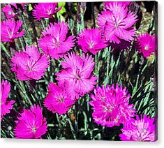 Acrylic Print featuring the photograph Textured Pink Daisies by Gena Weiser