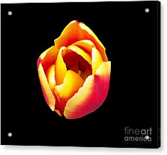 Acrylic Print featuring the photograph Textured Yellow And Pink Tulip by Gena Weiser
