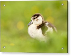 The Gosling In The Grass Acrylic Print