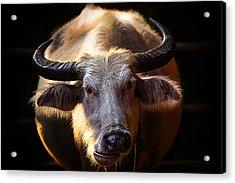 Thailand White Buffalo Acrylic Print by Arthit Somsakul