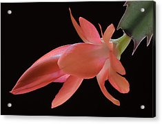 Thanksgiving Cactus Acrylic Print by James Barber