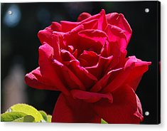 That Which We Call A Rose Acrylic Print by Eric Tressler
