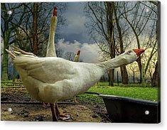The 3 Geese Acrylic Print