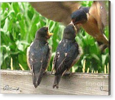The Adult Barn Swallow Arrives With Lunch For One Acrylic Print by J McCombie