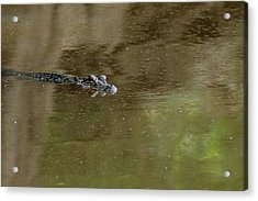 The American Alligator In The Flint River Acrylic Print by Kim Pate