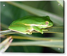 The American Green Tree Frog Acrylic Print by Kim Pate