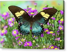 The Androgeus Swallowtail, Queen Page Acrylic Print by Darrell Gulin