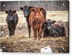 The Angry Cows Acrylic Print by Gary Heller