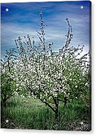The Apple Tree Blooms Acrylic Print