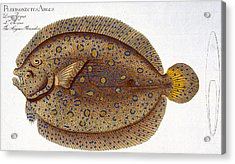 The Argus Flounder Acrylic Print by Andreas Ludwig Kruger