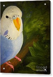 The Baby Parakeet - Budgie Acrylic Print