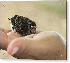 The Baby Wren Can't Fly Acrylic Print by B Wayne Mullins