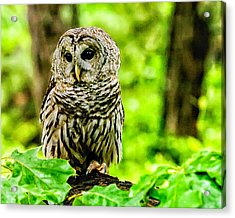 The Barred Owl Acrylic Print