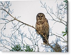 Acrylic Print featuring the photograph The Barred Owl by Phil Stone