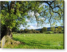 The Beautiful Cheshire Countryside - Large Oak Tree Frames A Field Of Lambs Acrylic Print