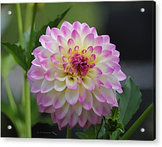 The Beautiful Dahlia Acrylic Print