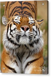 The Beautiful Siberian Tiger Acrylic Print by Boon Mee