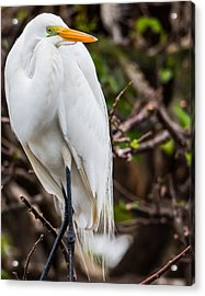 The Beauty Of A Great Egret Acrylic Print